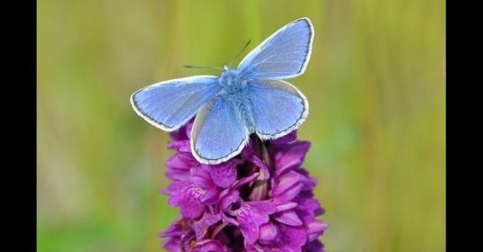 bbb22jul2013---album-da-bbc---a-polyommatus-icarus-e-a-borboleta-azul-mais-difundida-no-reino-unido-e-irlanda-e-e-encontrada-em-uma-variedade-de-habitats-gramados-1374502347636_956x500