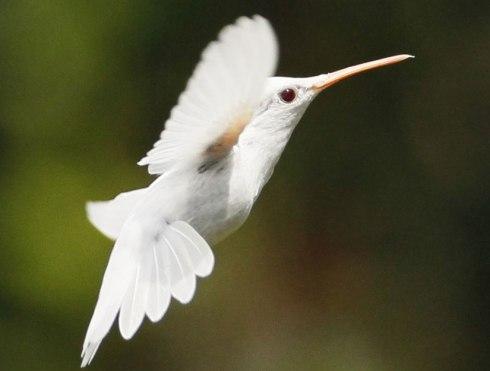 Shank-colibri-albino-1